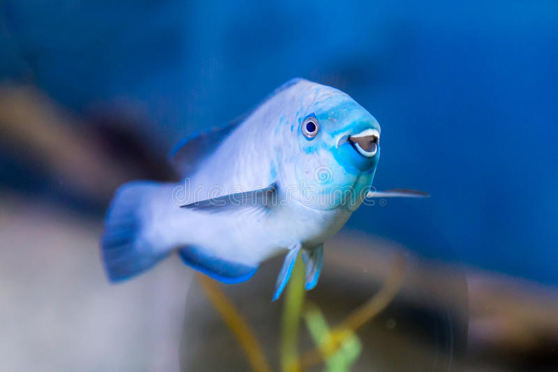 """Blue Reef Fish Smiling for the Viewer. A colorful coral reef fish with a great attitude """"smiles"""" for the viewer as if he is saying something stock image"""