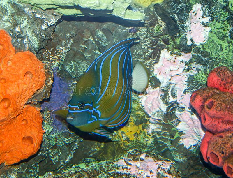 Blue Ring Angelfish and Coral stock photos