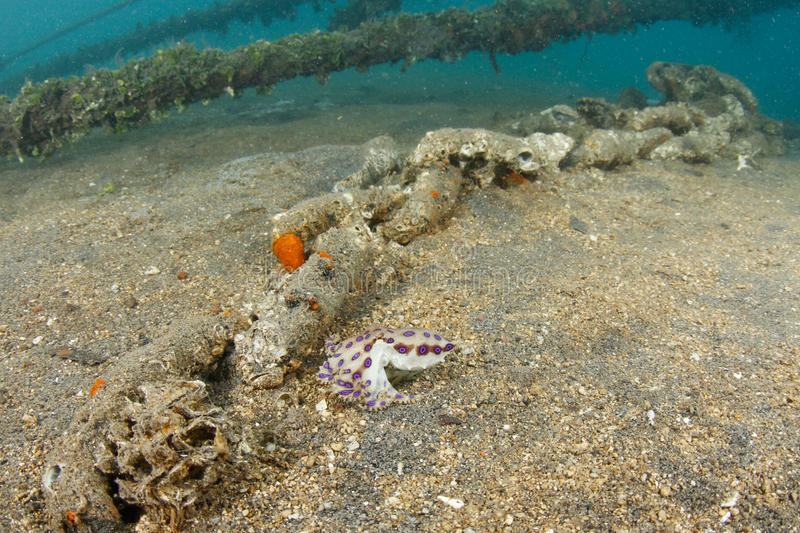 Download Blue ringed octopus stock photo. Image of marine, tropical - 21821404
