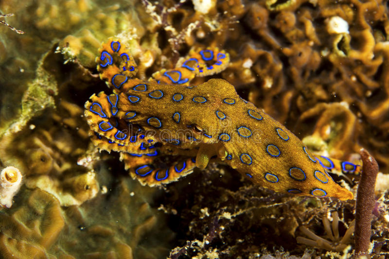 Blue-Ringed Octopus. A deadly blue-ringed Octopus displays its warning colours on a tropical coral reef stock image