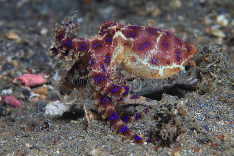 Blue ringed octopus. (Hapalochlaena sp) on the sea floor stock photography