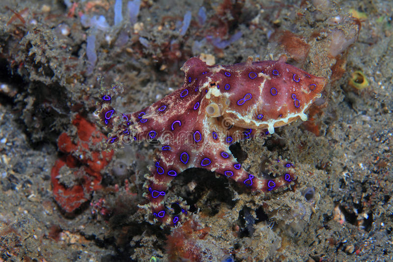 Blue-ringed octopus. (Hapalochlaena sp) on the sea floor stock image