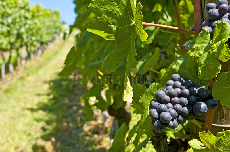 Blue ripe grapes royalty free stock photos