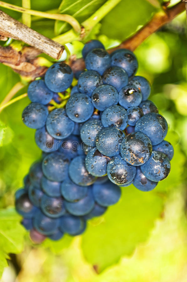 Blue ripe grapes royalty free stock photo