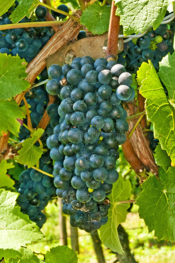 Blue ripe grapes stock photo