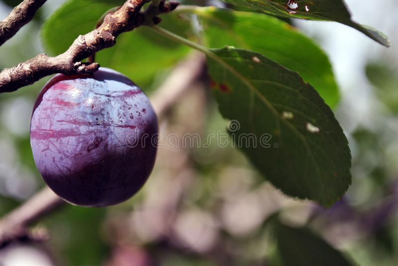 Blue ripe single plum on twig, close up macro detail, blurry green leaves stock photography