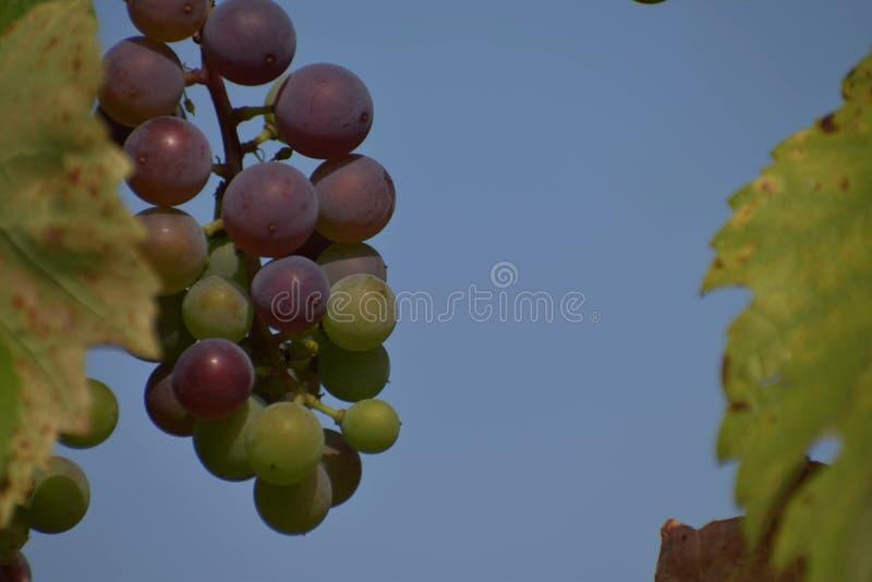 Blue ripening grapes. Sunny day. Blue sky. royalty free stock photos