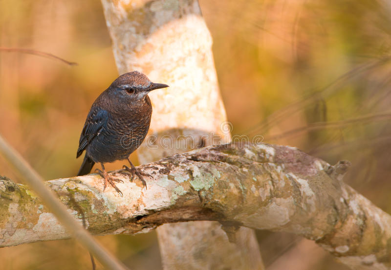 The Blue Rock Thrush. A Blue Rock Thrush perches on a branch in the National Park of Khao Yai, Thailand royalty free stock photography