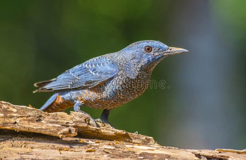 Download Blue Rock-Thrush, Bird stock photo. Image of avian, forests - 41344616