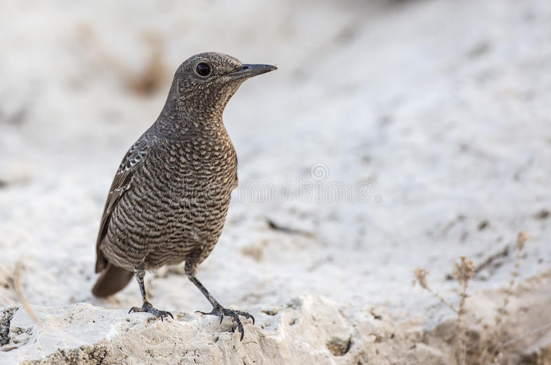 Blue Rock Thrush on Rock. Female blue rock thrush (Monticola solitarius) is looking around on a piece of rock royalty free stock image