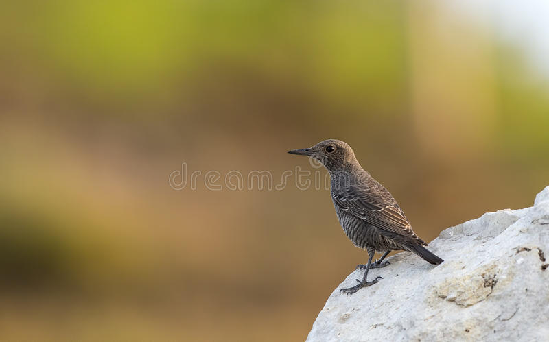 Blue Rock Thrush on Rock. Female blue rock thrush (Monticola solitarius) is looking left on a piece of rock royalty free stock photography