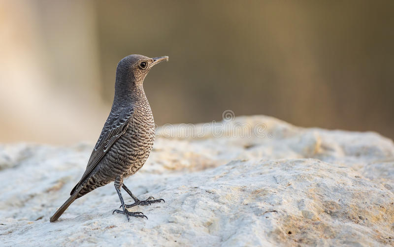 Blue Rock Thrush on Rock. Female blue rock thrush (Monticola solitarius) is looking right on a piece of rock stock photography