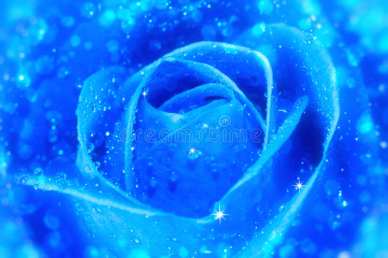 Blue rose. With water drops stock photo