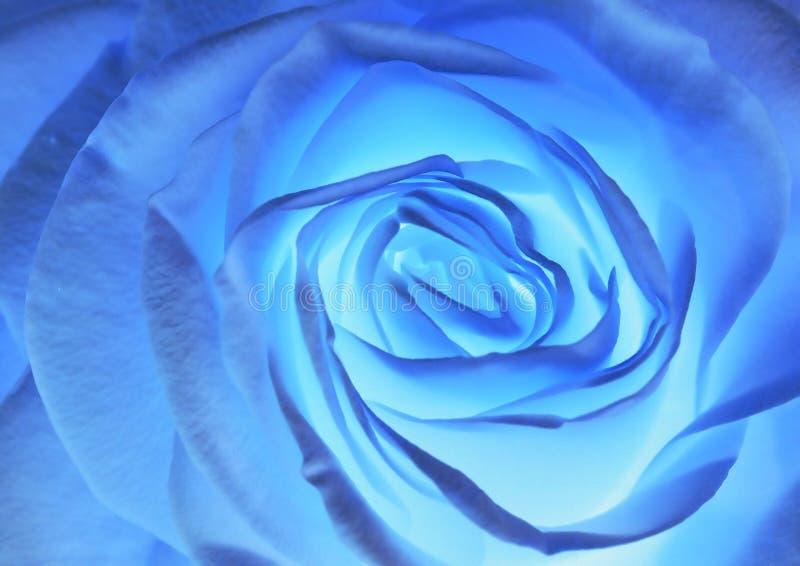 blue rose obrazy stock