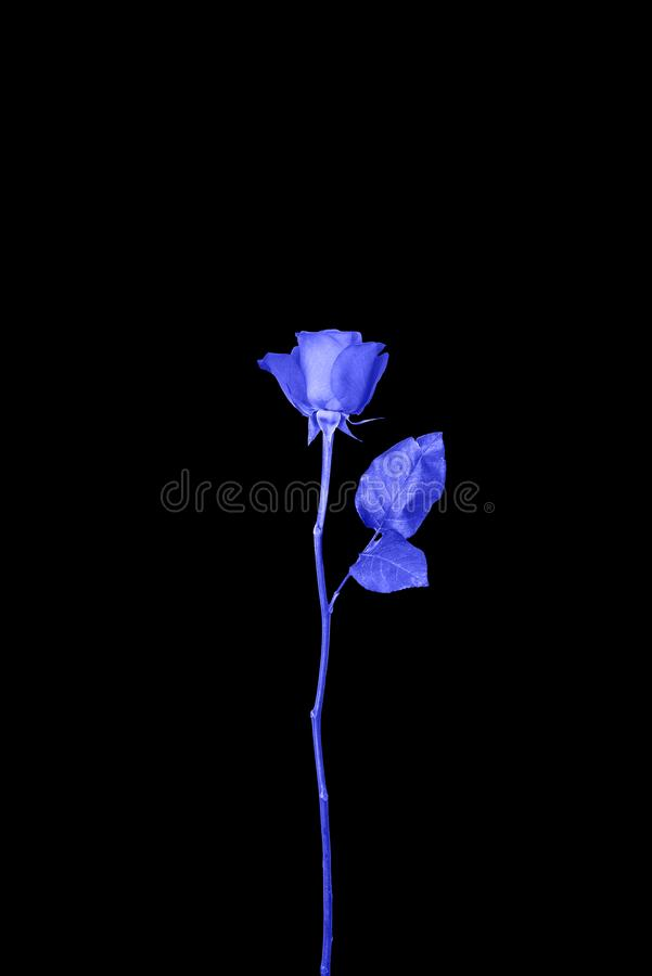Blue rose on a black background. Art Gallery Design. Creative style. The concept of art. royalty free stock photos