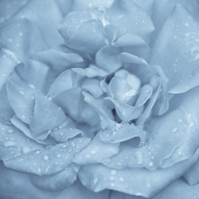 Blue rose flower. Abstract macro shot of beautiful blue rose flower with water drops. Floral background with soft selective focus, shallow depth of field stock images