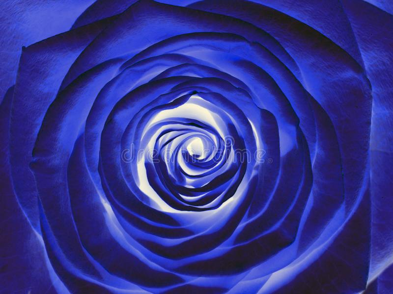 Blue rose flower, close up. Romantic blue rose flower, close up royalty free stock images