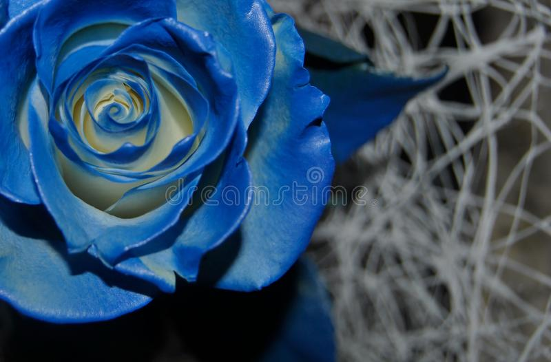 Blue rose flower. Macro blue rose flower on a neutral background royalty free stock photos