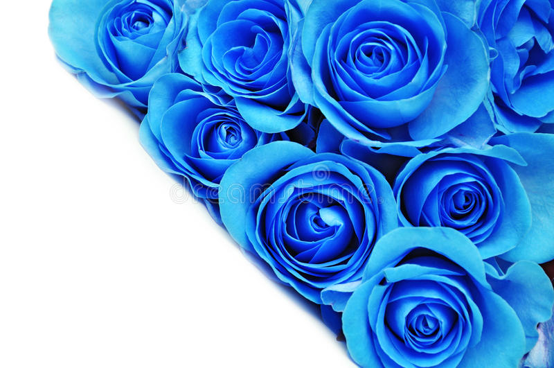 Blue rose flowers royalty free stock image