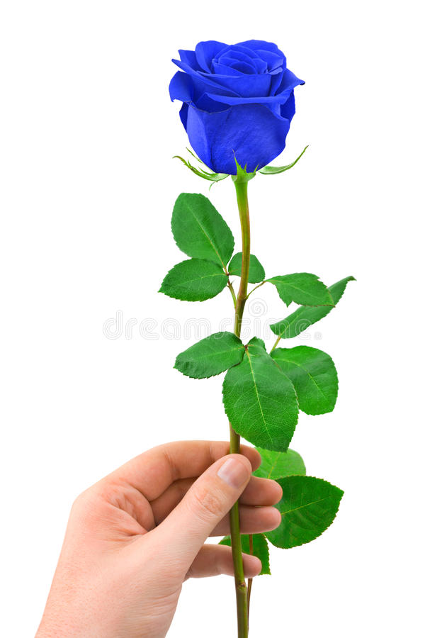 Blue rose in hand. Isolated on white background royalty free stock photos