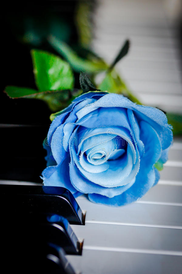 Blue rose on a piano. Blue rose posed on a piano royalty free stock photography