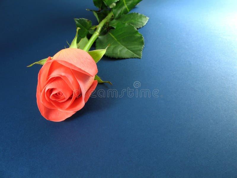 blue rose różowego tła textured obrazy stock