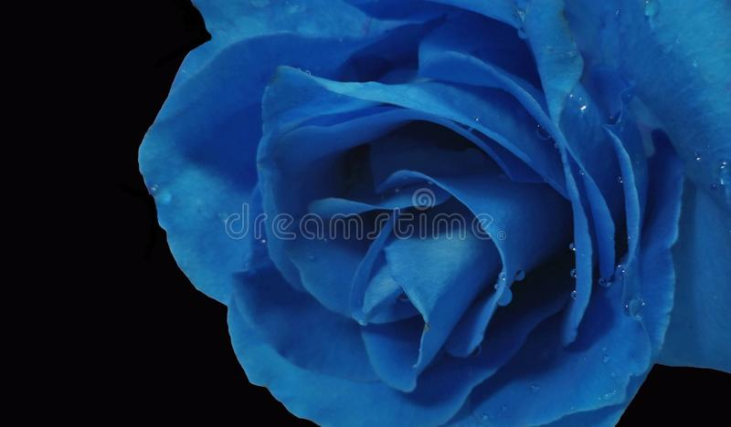 Blue Rose Stock Photo Image Of Sweetness Color Symbolize 44462772