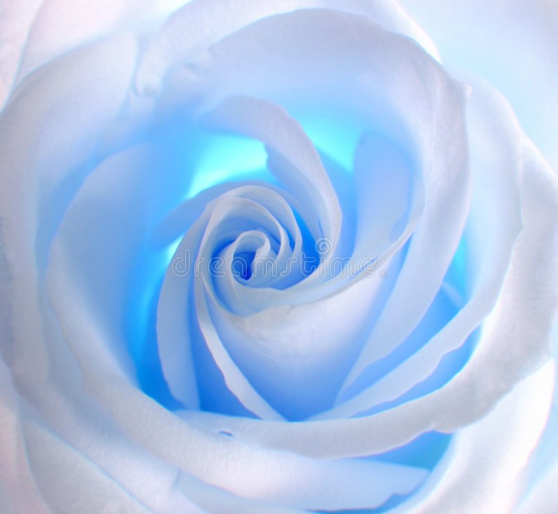 blue rose white obraz royalty free