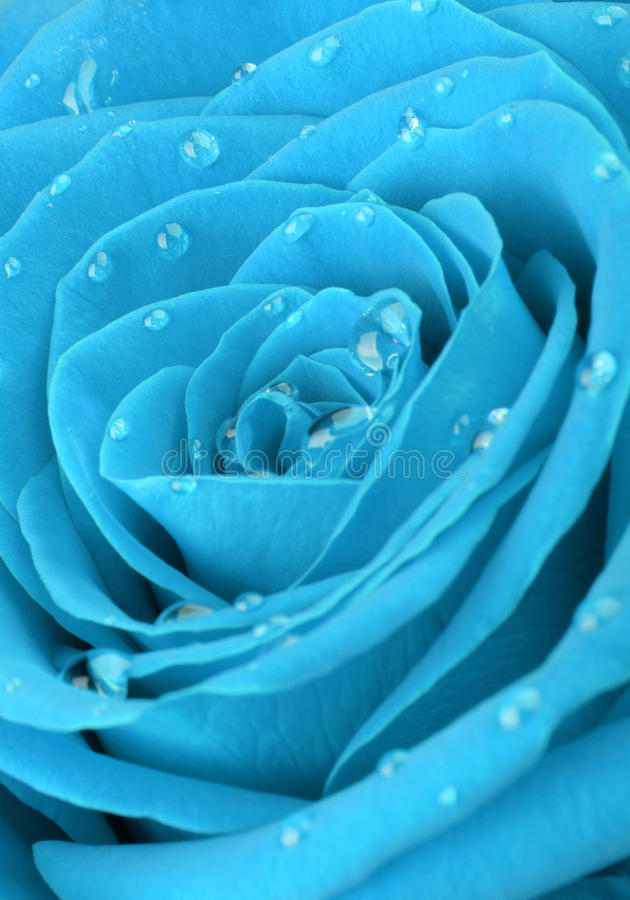 Free Blue Rose With Water Drops Stock Photography - 22857052