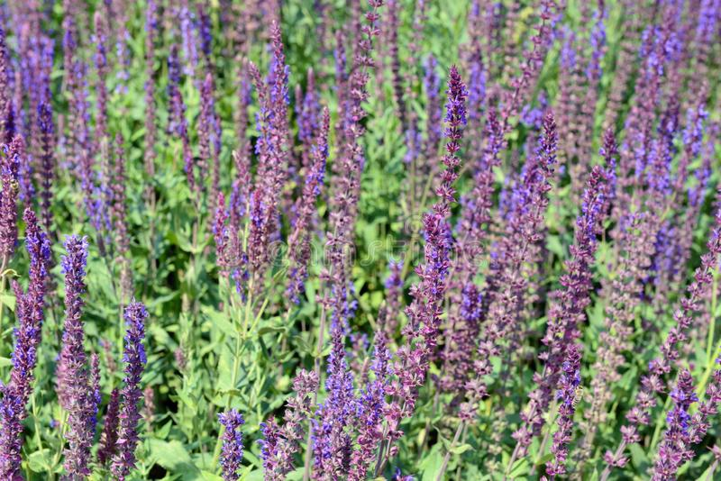 Blue Sage Salvia Nemorosa in flowerbed. full frame.  royalty free stock photography