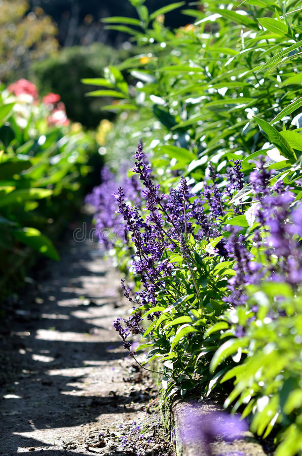 Download Blue salvia stock photo. Image of nature, beautiful, violet - 27466452