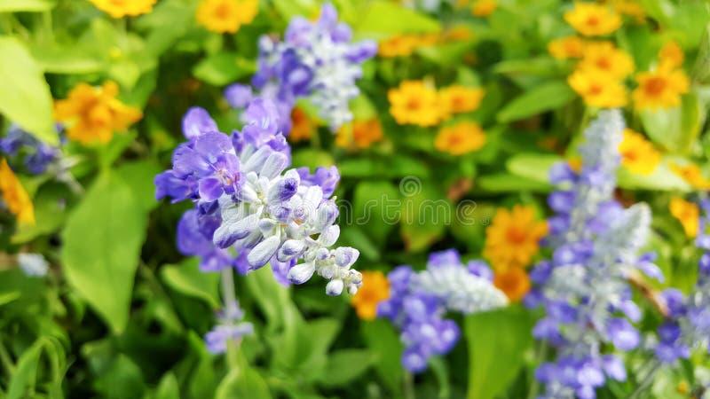 Blue Salvia stock image