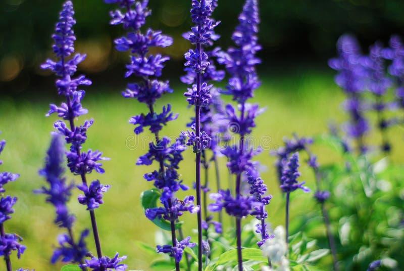 Blue Salvia flower royalty free stock photo