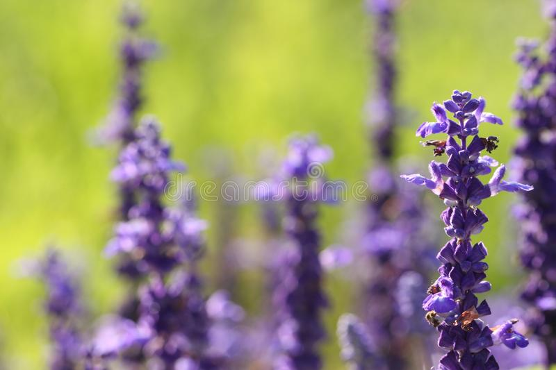 Blue Salvia Flowers basking in the sun stock image