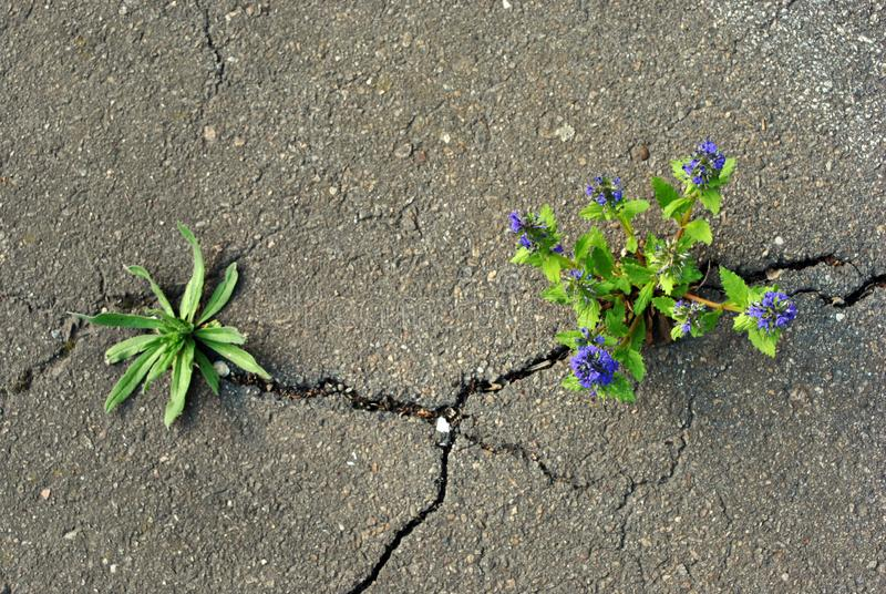 Blue salvia flowers and other plant growing through cracks in gray asphalt. Top view stock photo