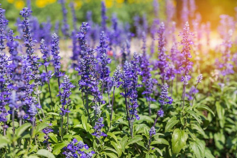 Blue salvia herbal flowers blooming in garden stock photo