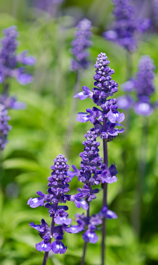 Blue Salvia (salvia farinacea) flowers. Blooming in the garden royalty free stock image