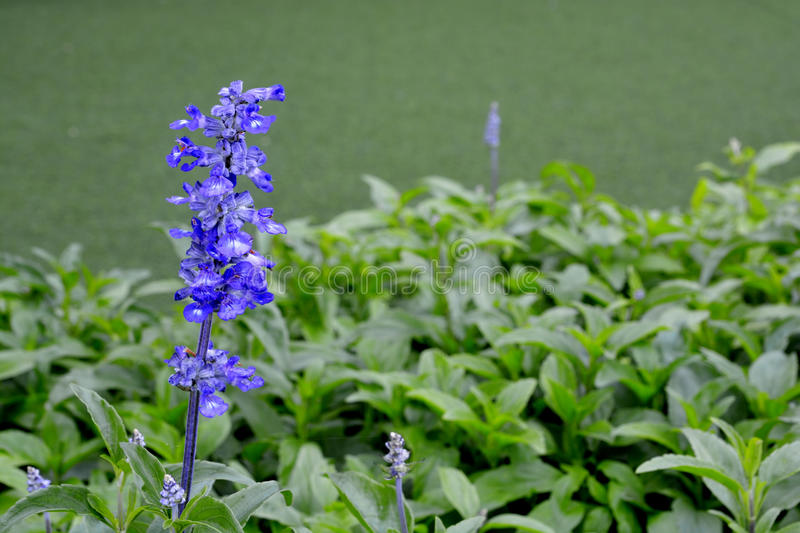 Blue Salvia (salvia farinacea). Flowers blooming in the garden stock images