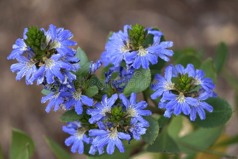 Blue Scaevola stock photography