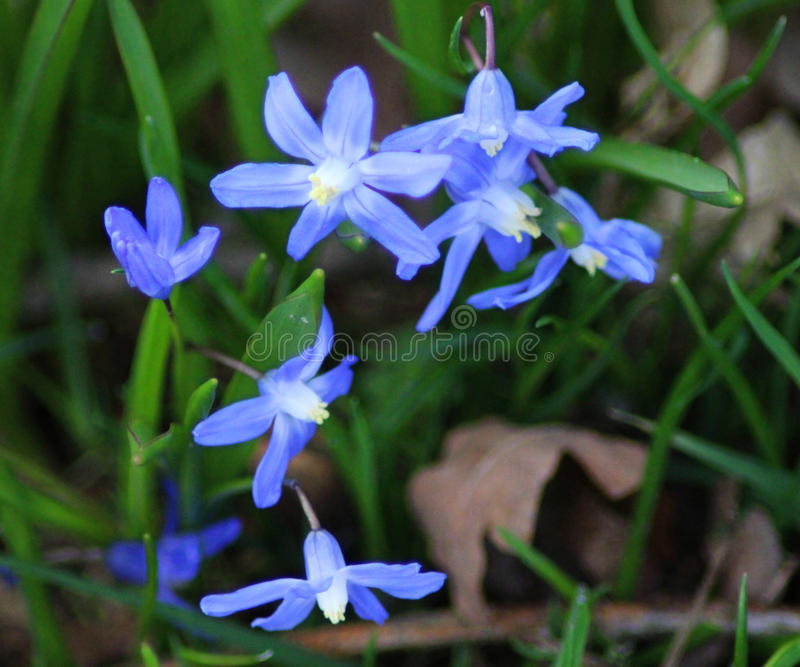 Blue Scilla siberica flower royalty free stock images