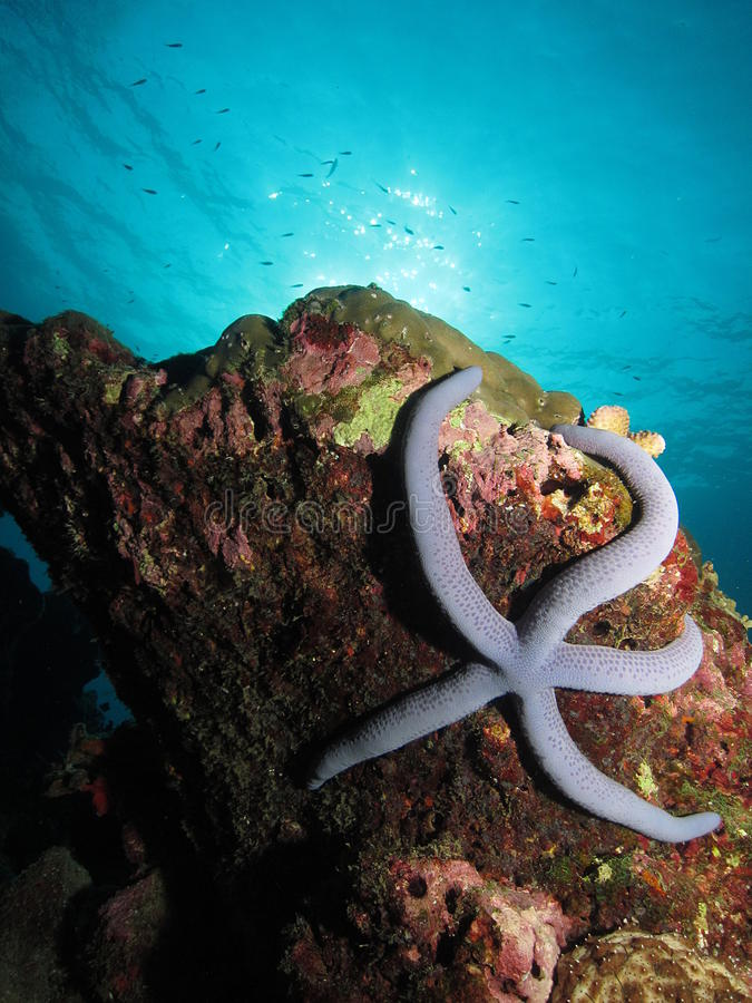 Blue sea star clinging to a reef royalty free stock images