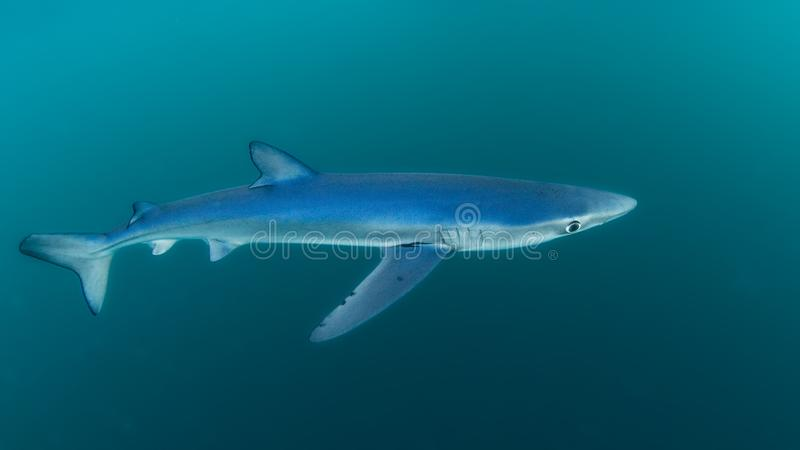 Blue Shark, Cornwall. Prionace glauca stock images