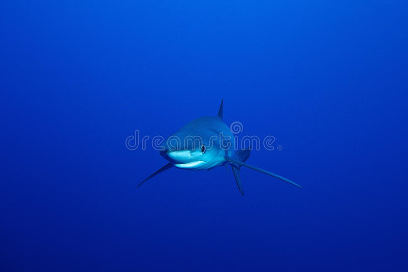Blue shark (Prionace glauca) royalty free stock photo