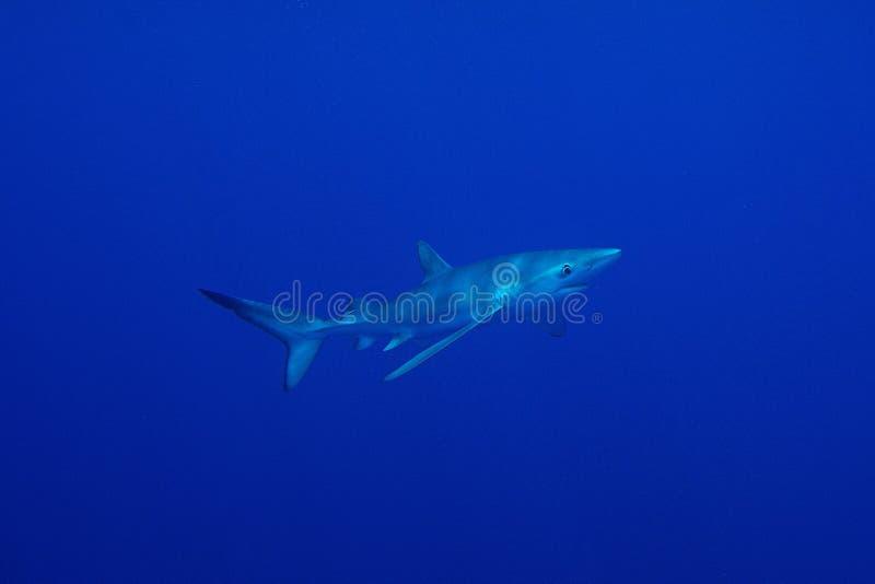 Blue shark (Prionace glauca) stock images