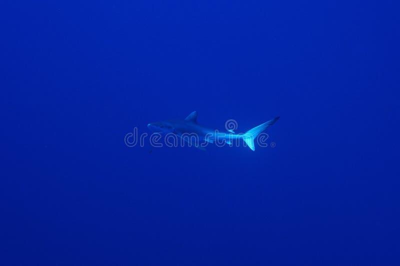 Blue shark (Prionace glauca) royalty free stock photos