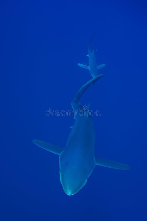 Blue shark (Prionace glauca) stock photos