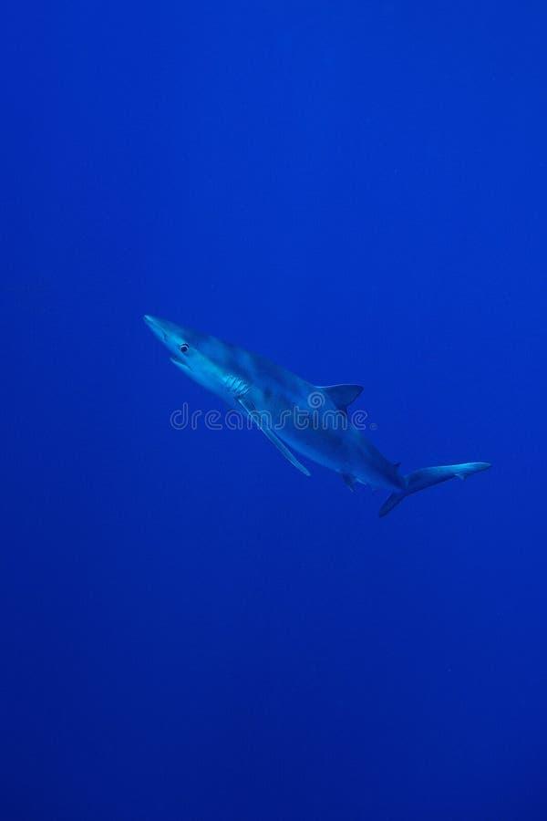 Blue shark (Prionace glauca) royalty free stock image