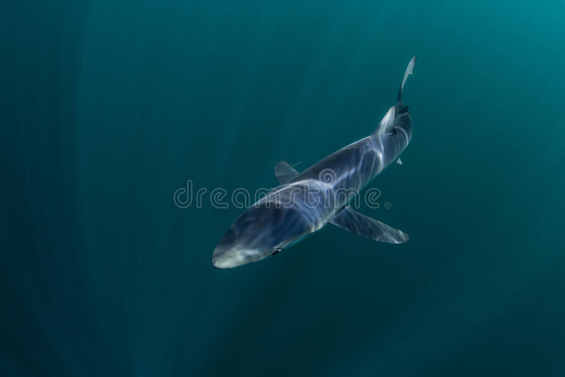 Blue Shark Swimming in Dark Waters stock image