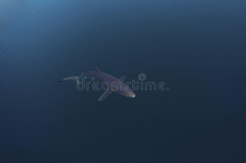Blue Shark stock images