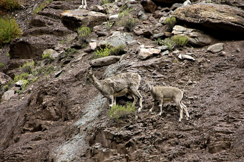 Blue Sheep on the Cliff. A mother Blue Sheep and her calf walking together with their herd on the steep cliffs of the deep gorge that descends North-West from stock image